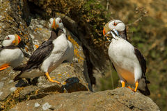Horned Puffins. Adult Horned Puffin Presenting Mouthfull Of Small Fish To Its Mate Stock Photo