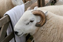 Horned Ram Stock Photography
