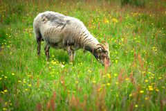 A Horned Ram (Adult Male Sheep) Is Eating Grass in The Spring Meadow stock photo