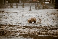 Horned ram on winter frost grass Stock Photography