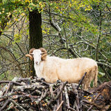 Horned ram in woods, facing camera Royalty Free Stock Images