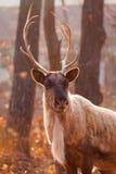 Horned Reindeer. Beautiful horned Reindeer at zoo Stock Photos