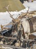 Horned reindeer Royalty Free Stock Image