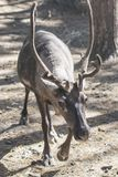 Horned reindeer. Wild northern animal Stock Photos