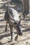 Horned ren Löst nordligt djur Arkivfoton