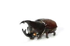 Horned rhino beetle Stock Images