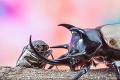 5-Horned scarabeo rinoceronte, briciolo dello scarabeo di gracilicornis di Eupatorus Fotografie Stock