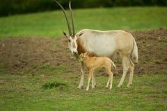 horned scimitar oryx Стоковое фото RF