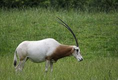 horned scimitar oryx стоковые фото