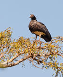 Horned Screamer on tree Stock Image