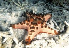 Horned sea Star, Mabul Island, Sabah Stock Photos