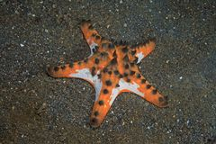 Horned sea star Stock Images