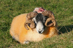 Horned sheep Royalty Free Stock Photography