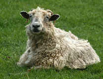 Horned Sheep. Sheep in dire need of being sheared Royalty Free Stock Image