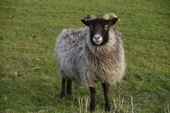 Horned sheep with black head Stock Images