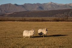 Horned Sheep Grazing in Field at Sunset Royalty Free Stock Photos