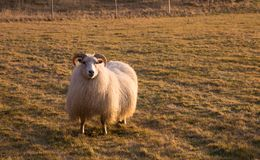 Horned Sheep Grazing in Field at Sunset Royalty Free Stock Photography