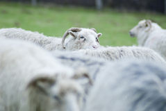 Horned sheep looking. Sheep (German Heath Sheep aka Heidschnucke) standing in blurred herd looking Royalty Free Stock Images