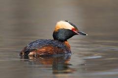 Horned simning för doppingPodicepsauritus i ett damm Royaltyfria Foton