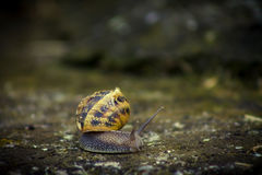 Horned snail Stock Images