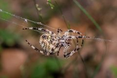 Spider spins web - Araneus Angulatus. Horned spider spins web. Araneus Angulatus - macro, close up Stock Images