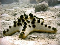 Horned Starfish Stock Photos