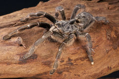 Horned tarantula Royalty Free Stock Images