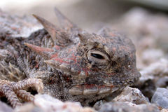 Horned Toad Lizard. A sleepy horny toad in the wild desert with focus on eye Stock Photography
