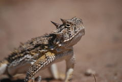 Horned toad lizard 2 Stock Photography