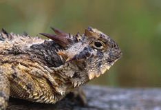 Horned Toad Portrait Stock Images
