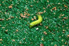 Horned tomato worm Stock Image