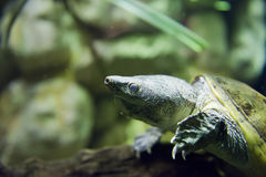 Horned turtle Stock Photography