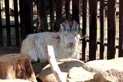 Horned a uma cabra Fotos de Stock