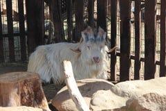 Horned a uma cabra Imagens de Stock
