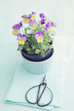 Horned violet. In a flowerpot with scissors stock photos