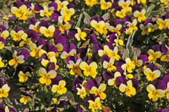 Horned Violet, Horned Pansy Stock Images