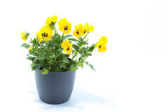 Horned Violet, Yellow Viola, Cornuta planted in a grey pot and i Stock Photography