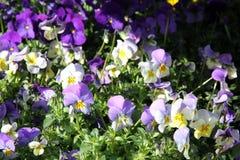 Horned violets Royaltyfri Bild