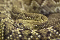 Horned Viper Stock Photography