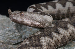 Horned viper Royalty Free Stock Image