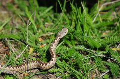 Horned viper Royalty Free Stock Photography