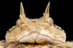 Horned viper / Cerastes cerastes Stock Image