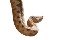 Horned viper isolated over white Royalty Free Stock Photos
