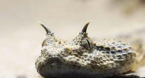 Horned viper macro stock image
