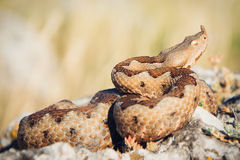 Horned viper in nature on rocks Royalty Free Stock Photo