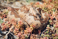 Horned viper in nature on rocks Royalty Free Stock Image