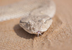 Horned Viper Portrait. Closeup of a Horned Viper as it tastes-smells the air. Common in the United Arab Emirates and other Middle East countries this reptile is Stock Images
