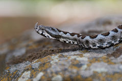 Horned viper on the prowl Royalty Free Stock Photos