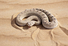 Horned Viper Ready to Strike. A Horned Viper tastes-smells the air. Common in the United Arab Emirates and other Middle East countries this reptile is very stock images