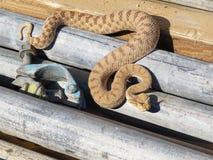 A Horned Viper snake moves through scaffolding on a construction site. Stock Photos
